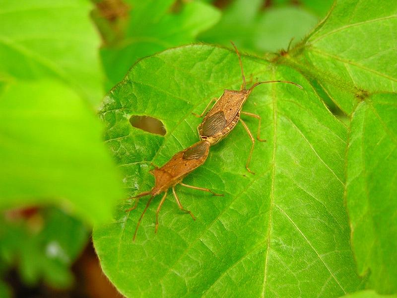 ホシハネビロヘリカメムシ
